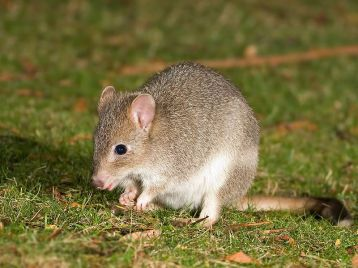 The Tasmanian Bettong (Bettongia gaimardi). Photo by JJ Harrison (jjharrison@facebook.com)