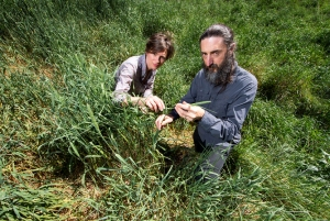 Pasture plants gone rogue: Phalaris is highly invasive but new varieties are still being developed