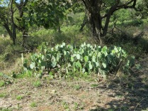 You got it, Prickly pear - Opuntia stricta (Zim)