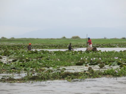 Fishers, water hyacinth and crocs... somewhere...