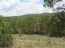 Hedge of Lantana camera (Zim)