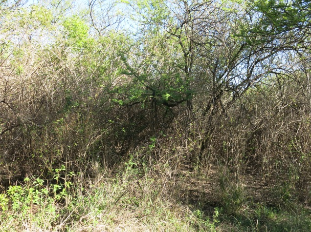 Invasive Lantana camara thicket (Zim)